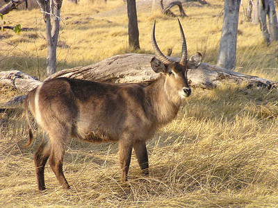 Even-toed Ungulates