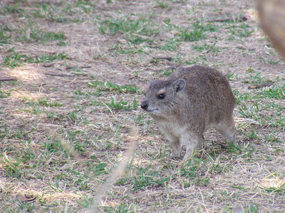 Yellow-spotted Rock Hyrax (Heterohyrax brucei)