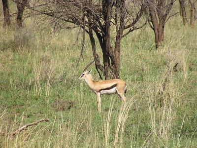 Thomson's gazelle (Eudorcas thomsonii)