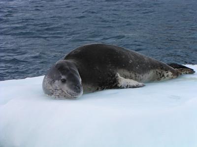 Leopard Seal (Hydrurga leptonyx)