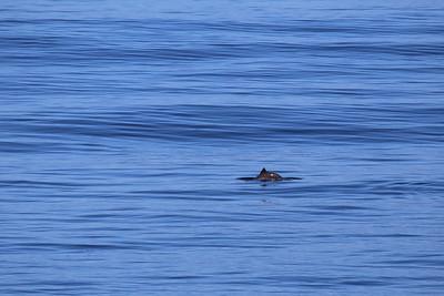 Harbour Porpoise (Phocoena phocoena)