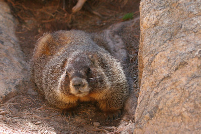 Yellow-bellied marmots (Marmota flaviventris)