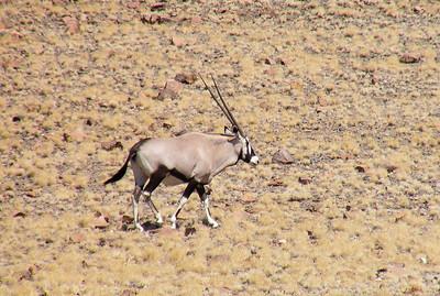 Gemsbuck (Oryx gazella)