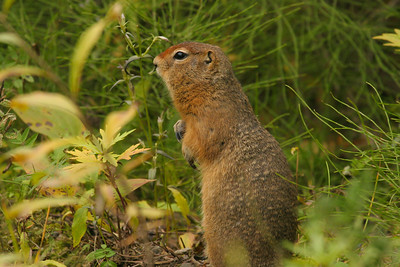 Arctic Ground Squirrel (Spermophilus parryii)