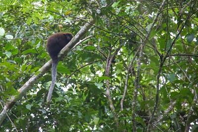 Coppery Titi Monkey (Callicebus cupreus)