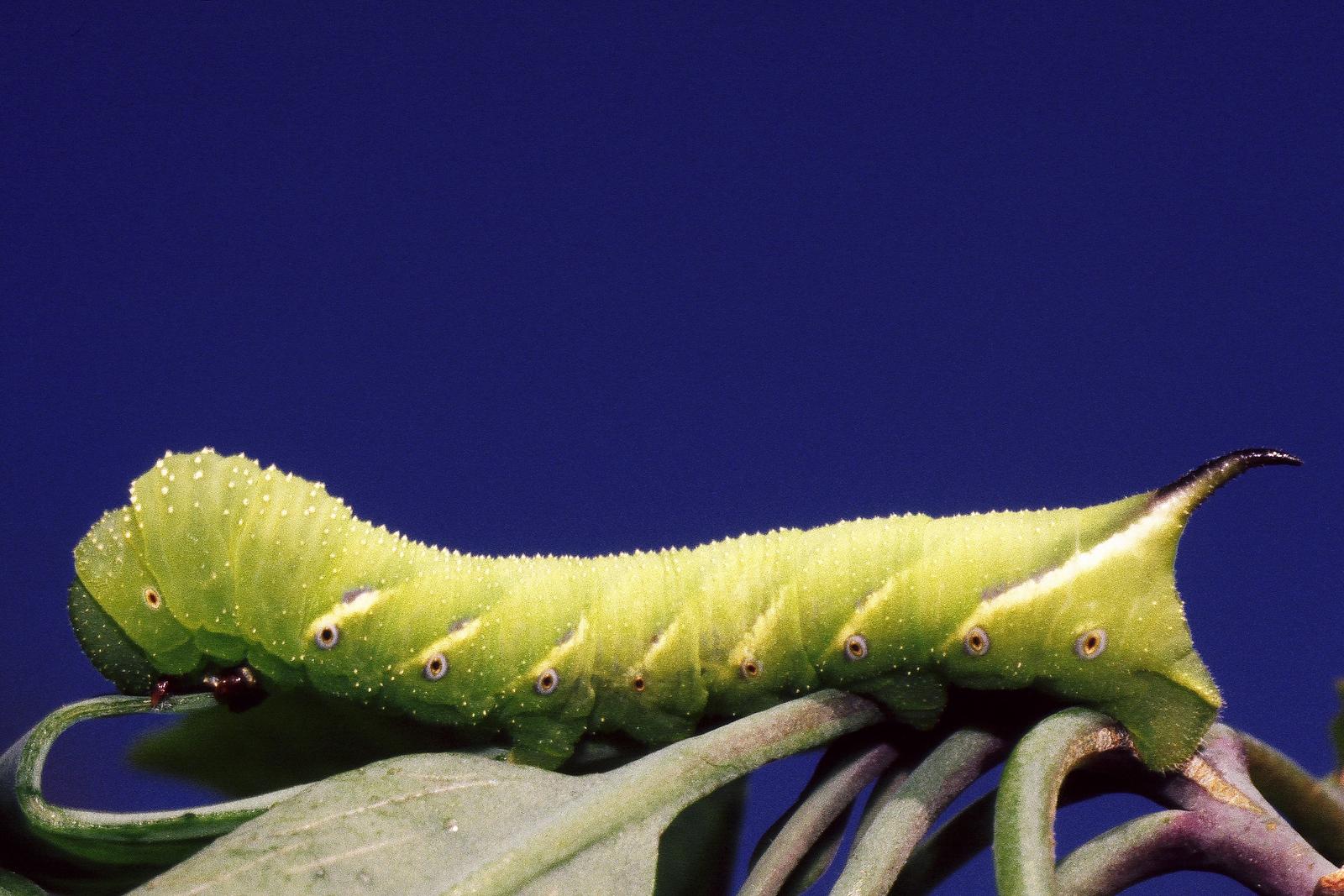Manduca blackburnii (Lepidoptera: Sphingidae) on Nicotiana glauca, East Maui