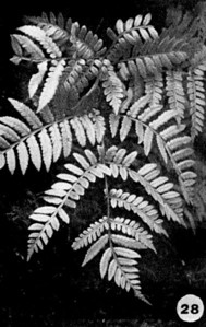 28. Marattia douglasii Image from the Kaala Bog Plant Guide: Kaala Natural Area Reserve, Mt. Kaala, Oahu, a 1992 publication of the State of Hawaii (DLNR/DOFAW) .