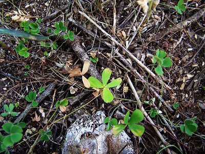"Marsilea villosa (Molokai) This image is licensed under the Creative Commons Attribution-NonCommercial 3.0 Unported license.  You may share and adapt this work, but only with attribution (""by Hank L. Oppenheimer"") and only for non-commercial purposes unless permission is obtained from the copyright-holder (contact webmaster@hear.org)."