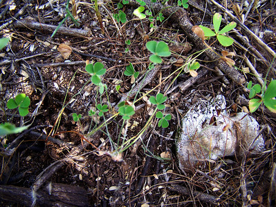 Marsilea villosa (Molokai)
