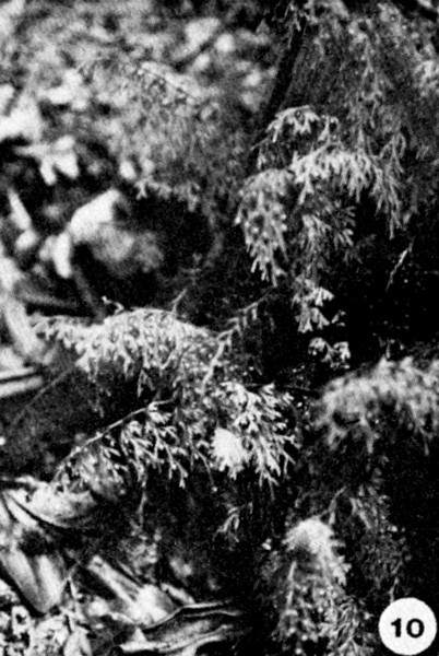 10. Mecodium recurvum Image from the Kaala Bog Plant Guide: Kaala Natural Area Reserve, Mt. Kaala, Oahu, a 1992 publication of the State of Hawaii (DLNR/DOFAW) .