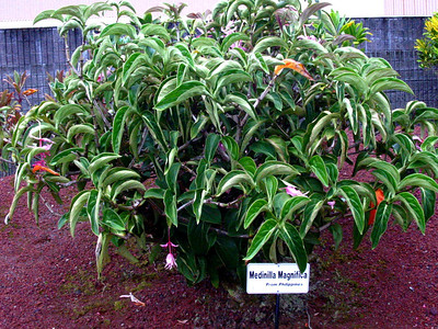 190563338_! medinilla magnifica in cultivation at hilo airport 20021011_147-4784_img