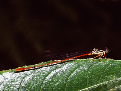 Megalagrion calliphya (Odonata: Coenagrionidae)