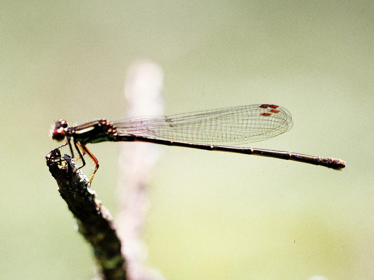 Megalagrion hawaiiense (Odonata: Coenagrionidae), West Maui