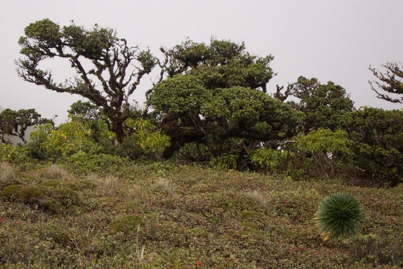 Bog with Metrosideros polymorpha and Lobelia gloria-montis, West Maui (01 Feb. 2011)