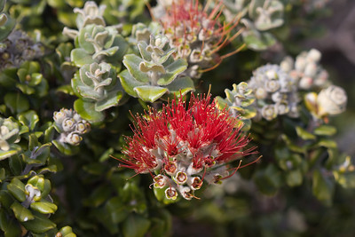 Metrosideros polymorpha ('ohia) flowers (Haleakala National Park, Maui, Hawaii, USA) (26 March 2009)Copyright © 2009 by Philip A. Thomas.  Contact imagesbypt@philipt.com for permission to use.
