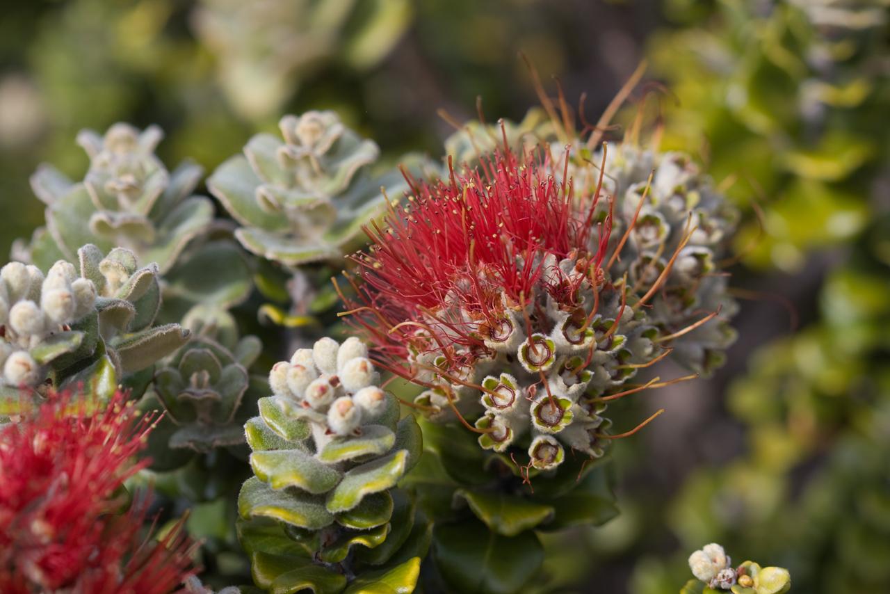 Metrosiderospolymorpha ('ohia) flowers (Haleakala National Park, Maui, Hawaii, USA) (26March2009)Copyright ©2009 by PhilipA. Thomas.  Contact imagesbypt@philipt.com for permission to use.