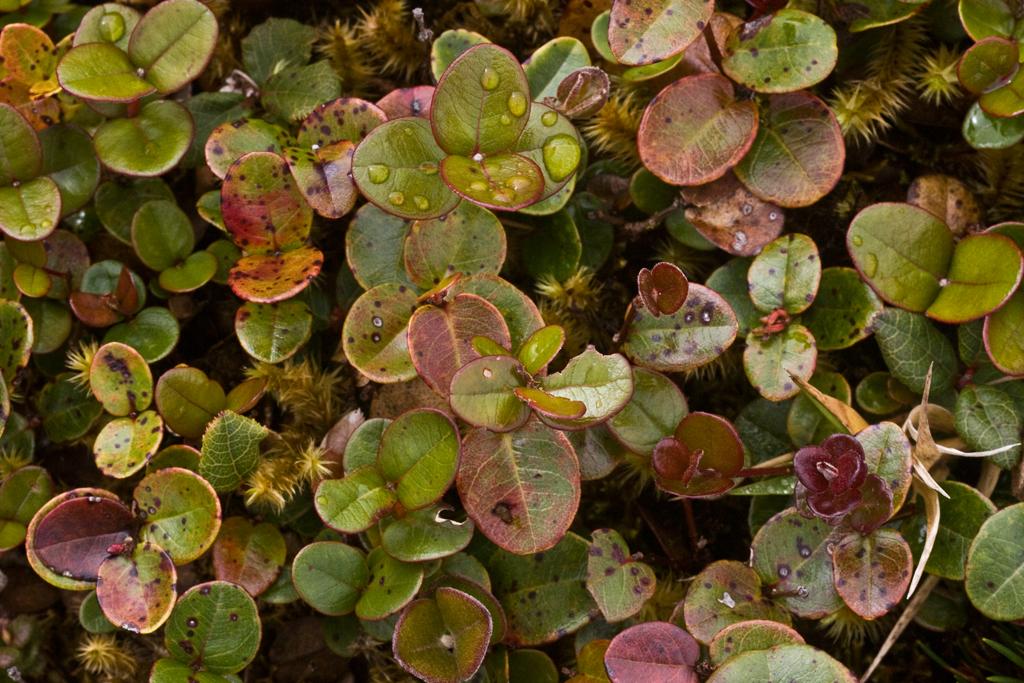 Metrosideros polymorpha (miniature; bog conditions)Myrsine sp. (sandwicensis?), West Maui (01 Feb. 2011)