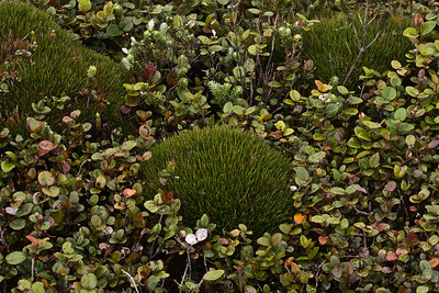 Oreobolus furcatus surrounded by miniature Metrosideros polymorpha (bog conditions), West Maui (01 Feb. 2011)