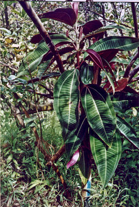 2001-03 miconia pix from Christy Martin (MISC) TMP11 - color-adjusted