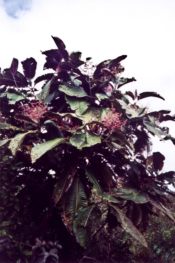 2001-03 miconia pix from Christy Martin (MISC) TMP13 - color-adjusted