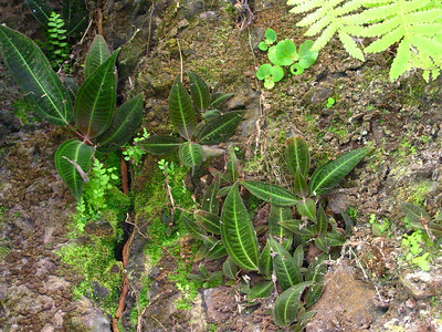 190564114_! miconia calvescens seedlings on roadside near hilo hawaii 20021011_149-4912_img
