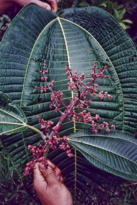2001-03 miconia pix from Christy Martin (MISC) TMP15 - color-adjusted