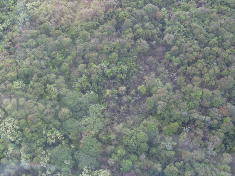 Aerial view of sprayed /Miconia calvescens plants on Hana coast, Maui (Hawaii) (March 01, 2004).PhotoID=starr-040301-0053Photo by Forest and Kim Starr.  If you'd like to use this image, please see their image use policy.More images of this species by these photographers can be found here: search for more Starr images of this species on HEAR.org