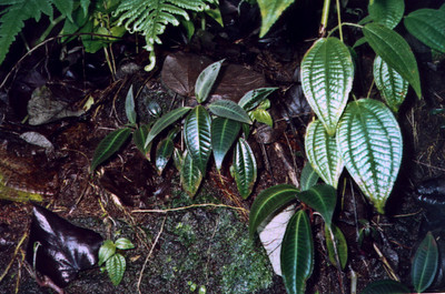 2001-03 miconia pix from Christy Martin (MISC) TMP08 - color-adjusted