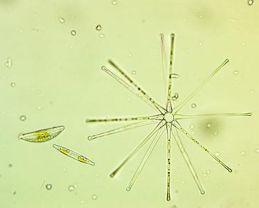 Asterionella