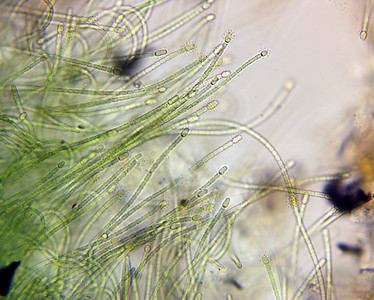 Cylindrospermum