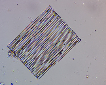 Fragilaria