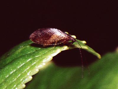 Micromus sp. (Hemerobiidae), West Maui