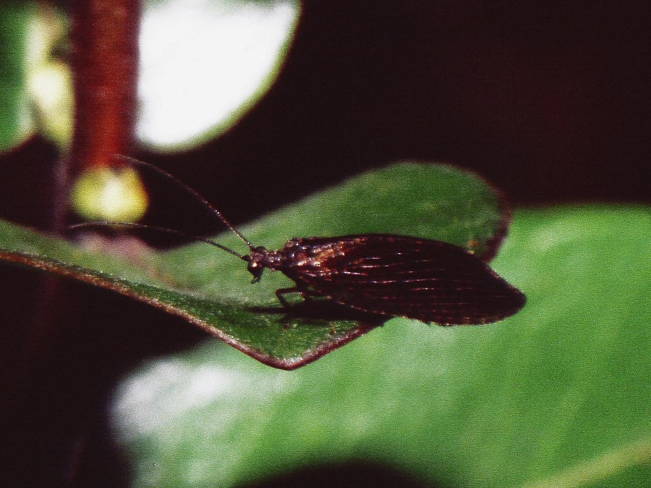 Micromus vagus (Hemerobiidae), West Maui