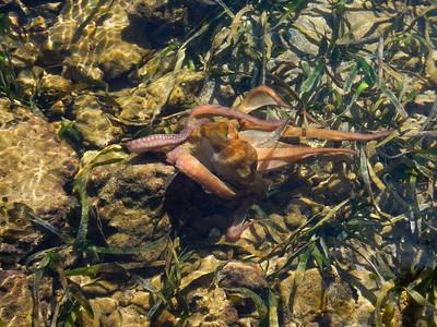 Caribbean reef octopus (Octopus briareus)