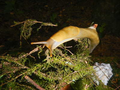 Banana Slug (Ariolimax columbianus)