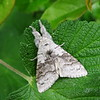 2028. Pale Tussock, 17th May 2015
