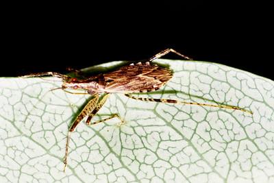 Nabis luciosus (Heteroptera: Nabidae), West Maui