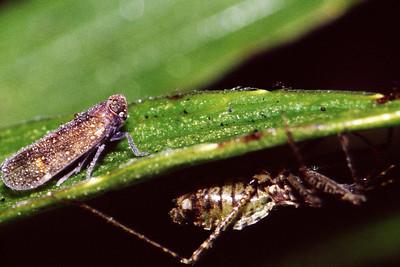 Nabis sp. (Nabidae) & Oliarus sp. (Cixiidae), West Maui