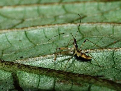 Nabis sp. (Heteroptera: Nabidae), Big Island