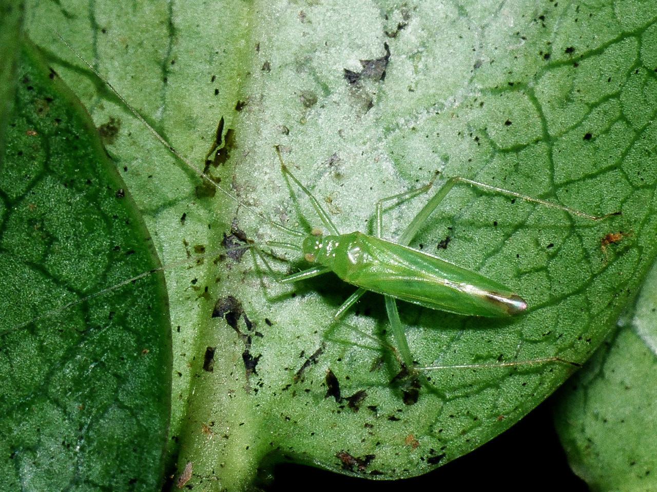 Nesiomiris hawaiiensis (Miridae) on Ilex anomala, Big Island
