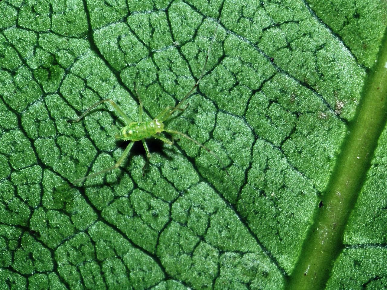 Nesiomiris sp. (Miridae) on Tetraplasandra sp., West Maui