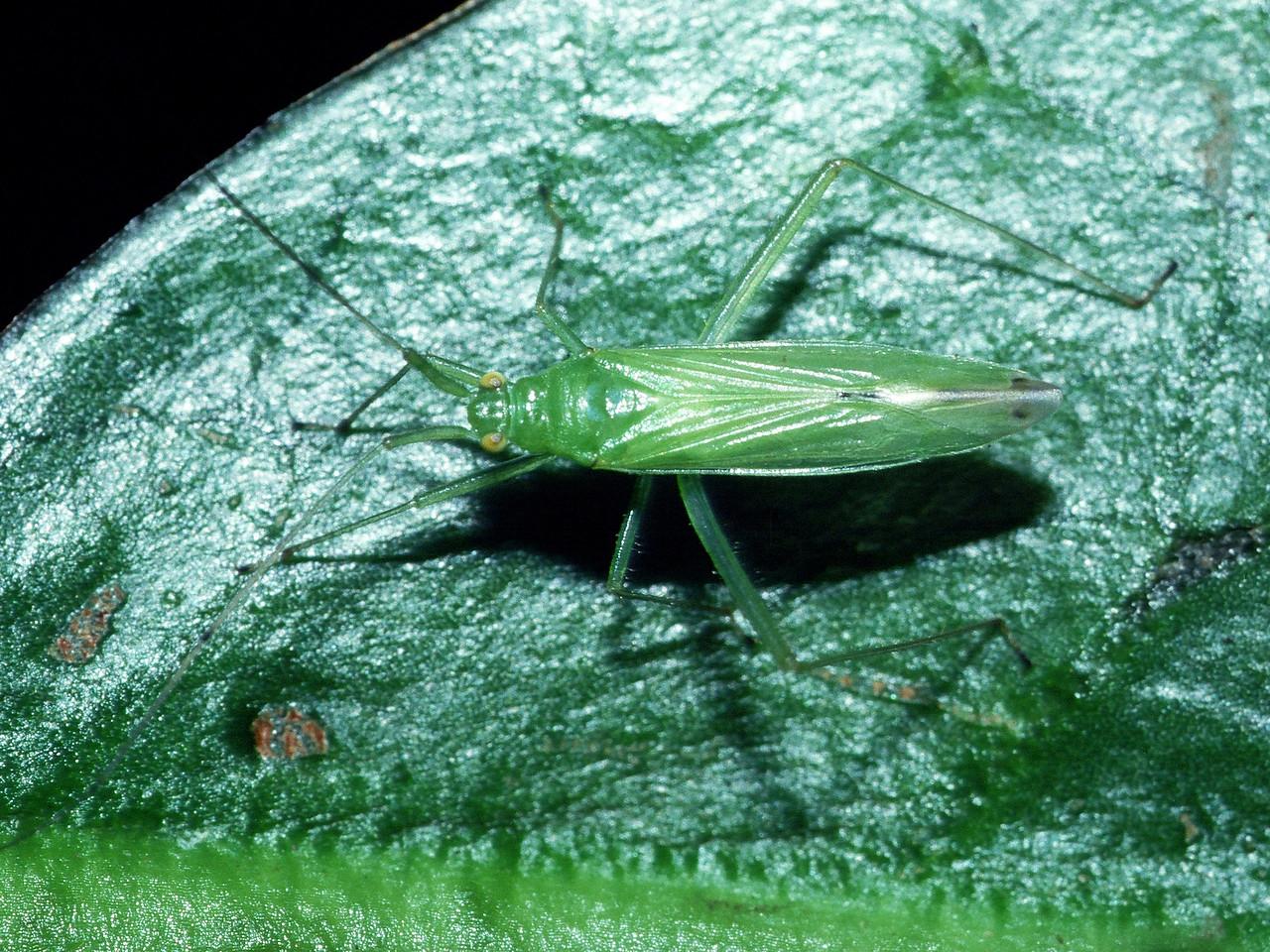 Nesiomiris sp. (Miridae) on Ilex anomala, East Maui