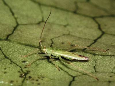 Nesiomiris sp. (Miridae) on Ilex anomala, West Maui
