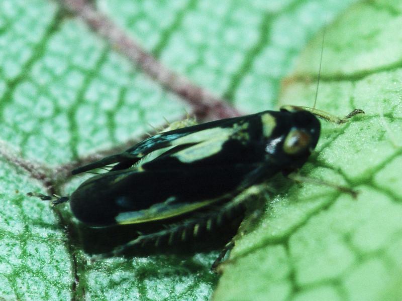 Nesophryosyne sp. (Cicadellidae), West Maui
