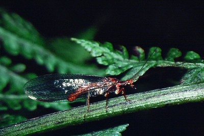 unidentified Neuroptera, East Maui