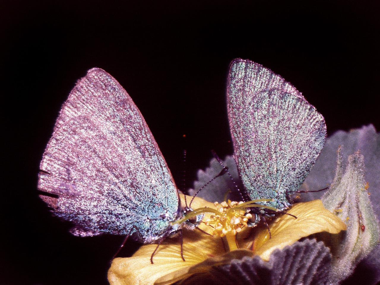 Udara blackburnii (Lepidoptera: Lycaenidae) on Side fallax, West Maui