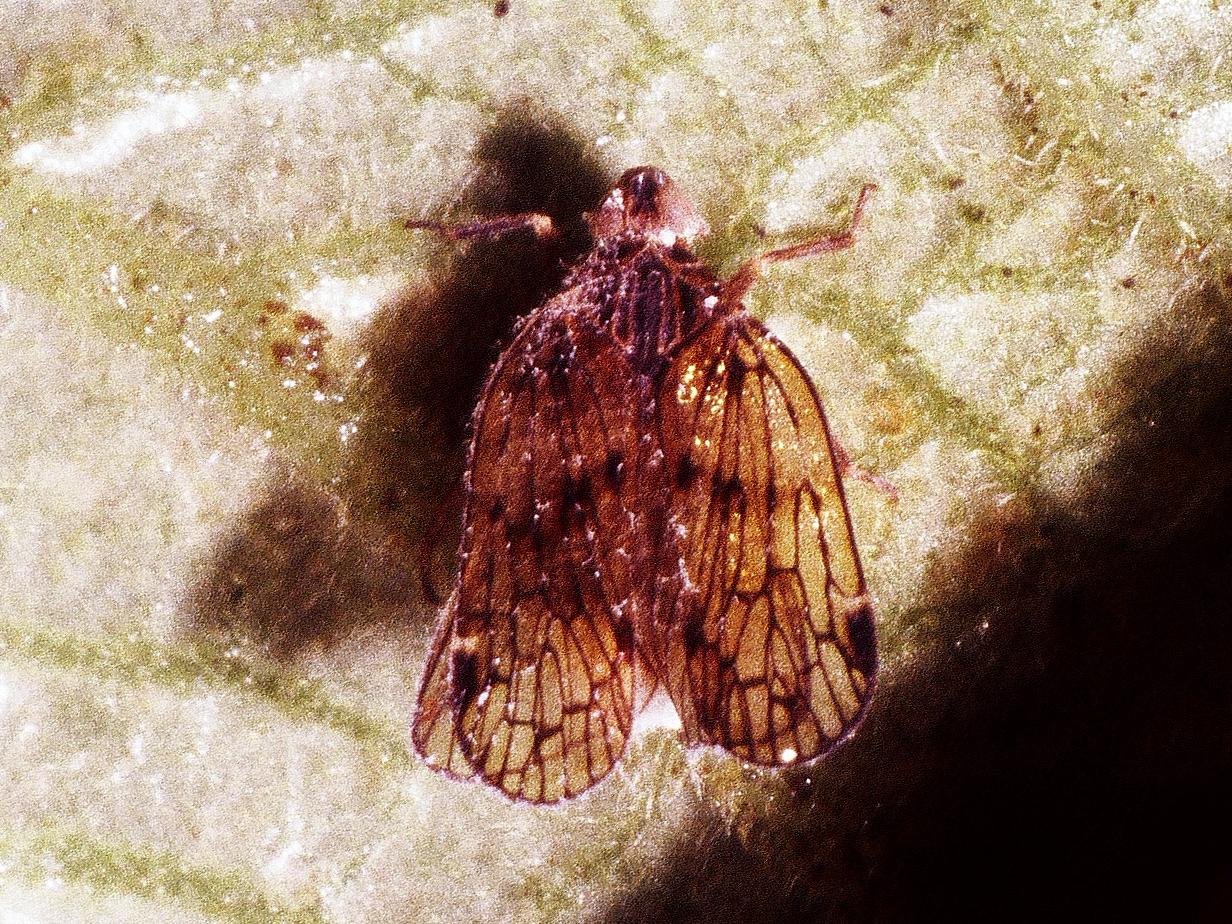 Oliarus sp. (Homoptera: Cixiidae),  West Maui