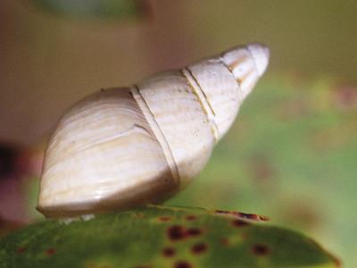 Partulina fusoidea (Achatinellidae), West Maui