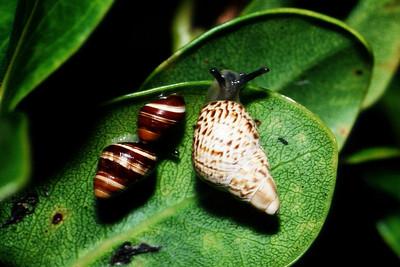 Partulina perdix and Partulina splendida, West Maui