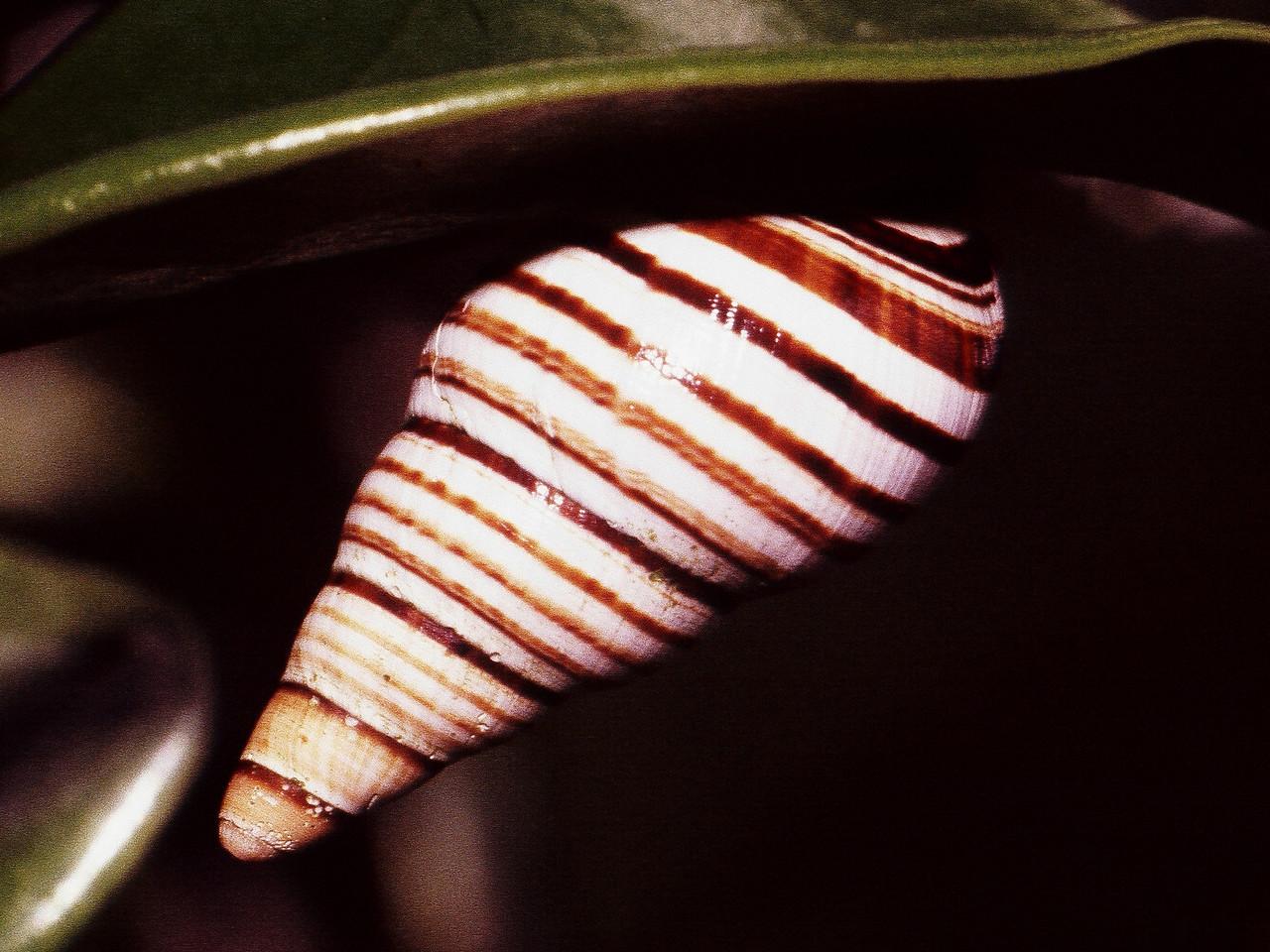 Partulina tappaniana, West Maui